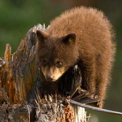Black bear cub exploring Yellowstone National Park