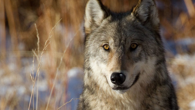 The nearby Lamar Valley is a popular destination for wolf watching.