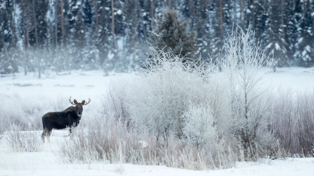 Moose are often seen at Silver Willows.