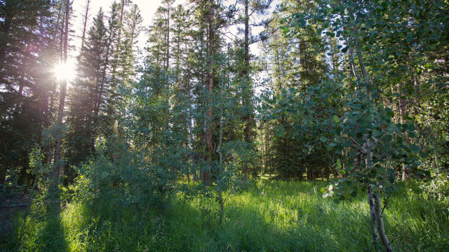 Aspens and pine trees provide privacy between the Ursa and Sarva cabins.