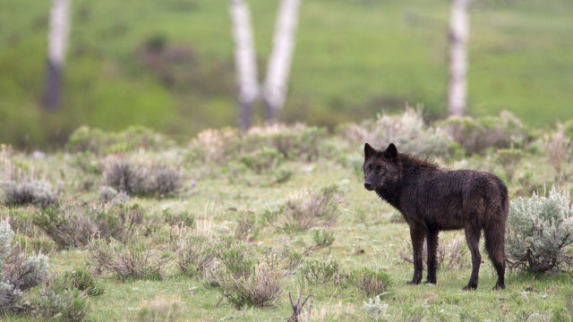 The Lamar Valley is only 12 miles away and is a popular wolf-watching hot spot!